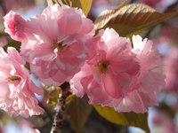Sakura05_2